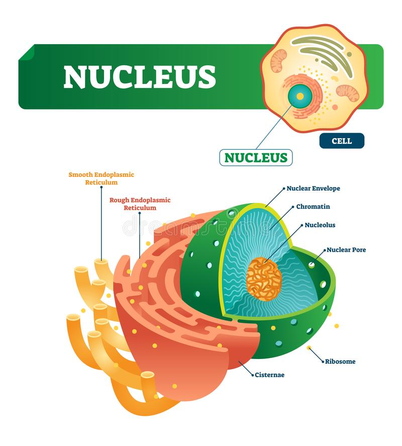 Nucleus vector illustration. Labeled diagram with isolated cell structure. Shown nuclear envelope and chromatin. Outside with smooth and rough endoplasmic royalty free illustration
