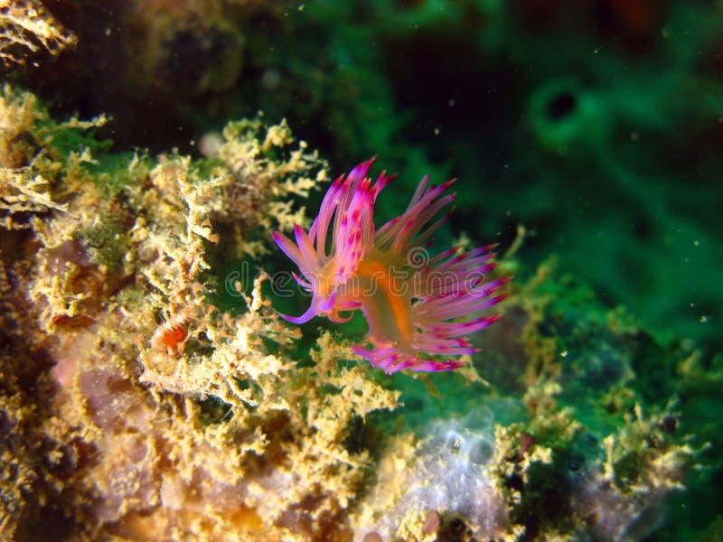 Nudibranch imagens de stock