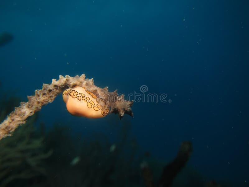 Nudibranch 免版税库存图片