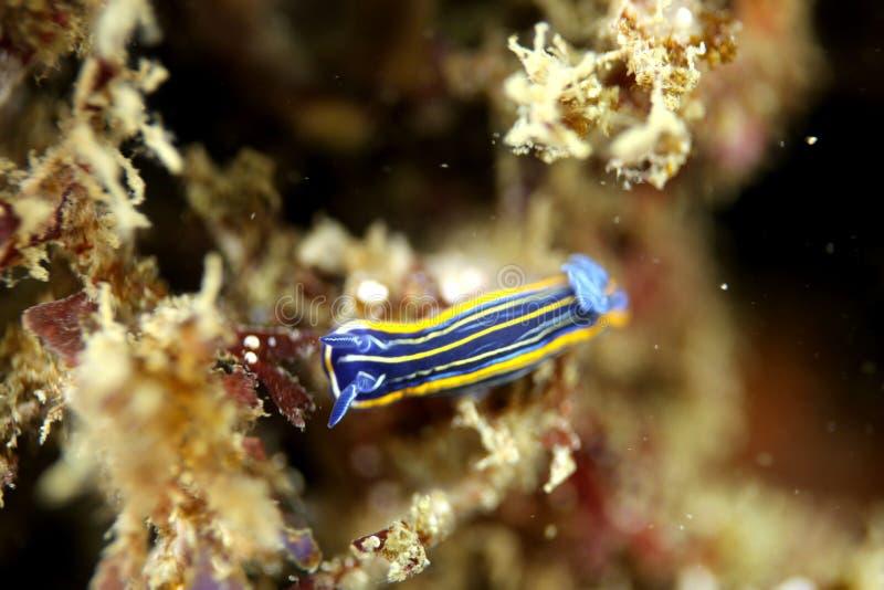 Nudibranch stock afbeelding