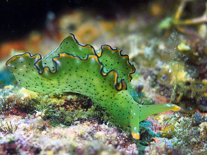 Nudibranch photo libre de droits