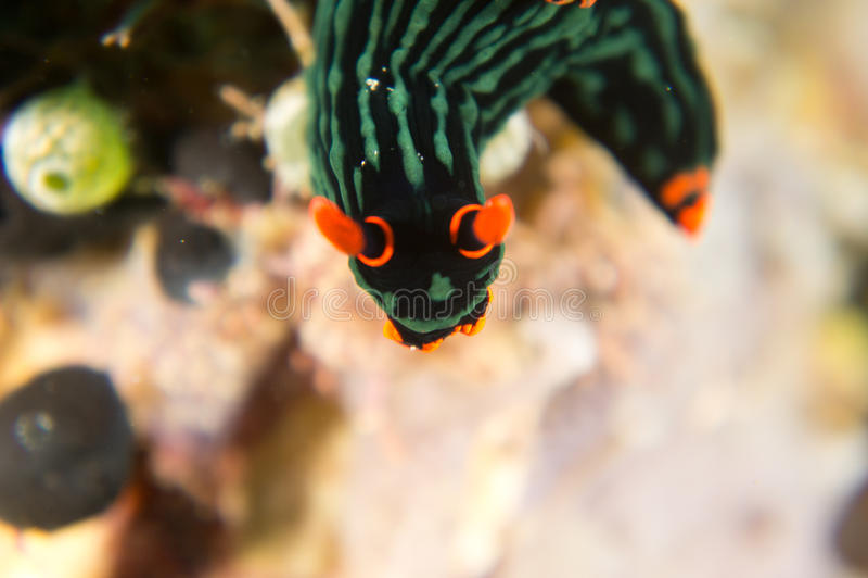 Nudibranch Royalty Free Stock Photos