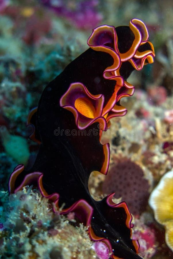 Nudibranch lizenzfreies stockbild
