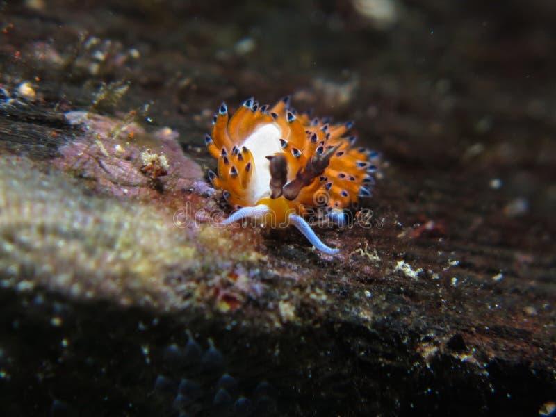 Nudibranch arkivfoton