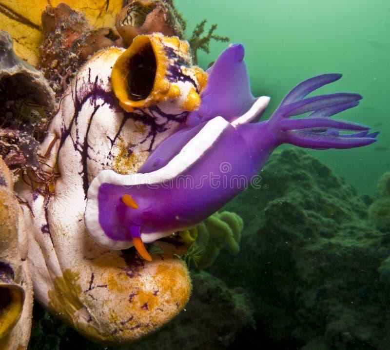 nudibranch obrazy royalty free