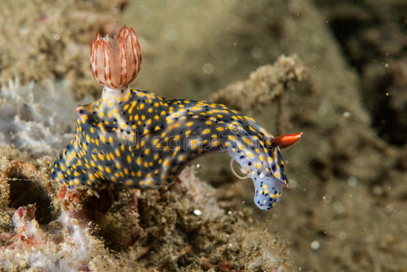 Nudibranch in Ambon, Maluku, Indonesia underwater photo royalty free stock photography