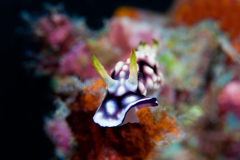 Nudibranch blanco, púrpura y negro Foto subacuática filipino fotografía de archivo