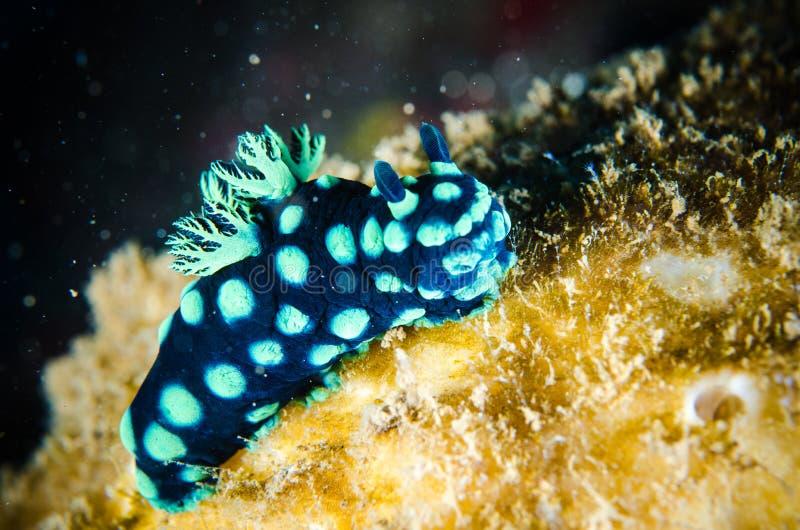 Nudibranch bunaken nembrothacristata van sulawesiindonesië onderwater stock fotografie