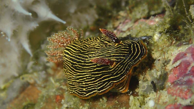 Nudibranch Chromodoris lineolata in Tunku Abdul Rahman Park, Kota Kinabalu. Sabah, Malaysia. Closeup and macro shot of nudibranch Chromodoris lineolata during a stock photo