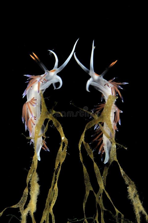 Nudibranch con la reflexión fotos de archivo libres de regalías