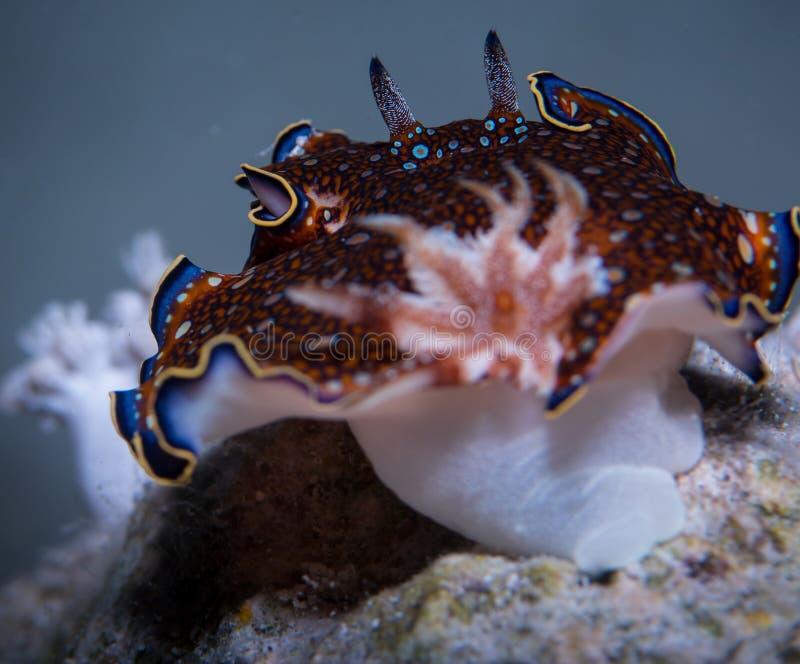 Nudibranch de Charlottae foto de archivo libre de regalías