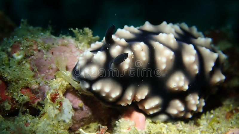 Nudibranch di Phyllidiella sp2 in Anilao filippino fotografie stock libere da diritti