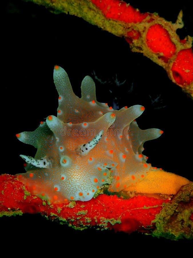 Nudibranch en eieren stock afbeelding