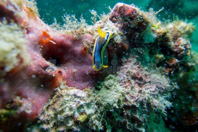 Nudibranch, kuniei de Goniobranchus, previamente kuniei de Chromodoris, arrastrándose a lo largo de un arrecife de coral bajo el  fotografía de archivo libre de regalías