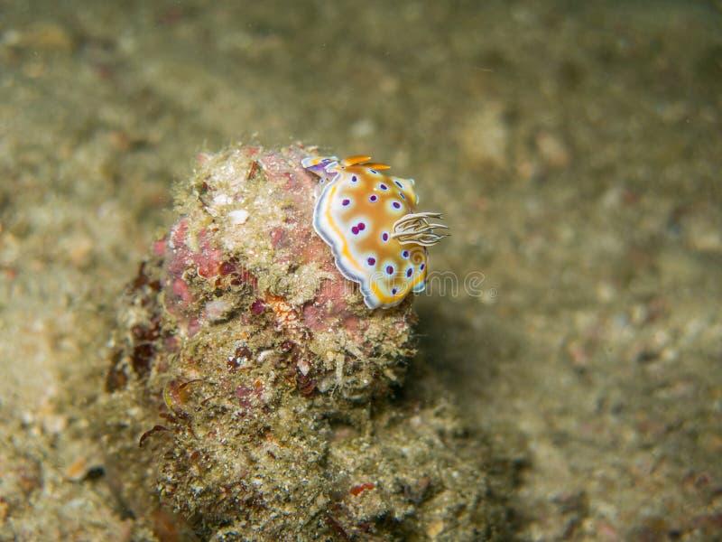 Nudibranch in Myanmar divesite royalty-vrije stock foto's