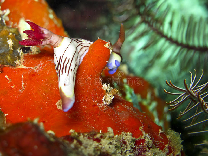 Nudibranch (Nembrotha). Macro photo of Nembrotha - nudibranch on a red sponge royalty free stock photo
