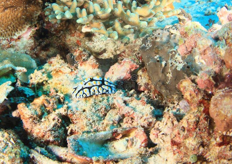 Nudibranch Phyllidia marindica royaltyfri foto