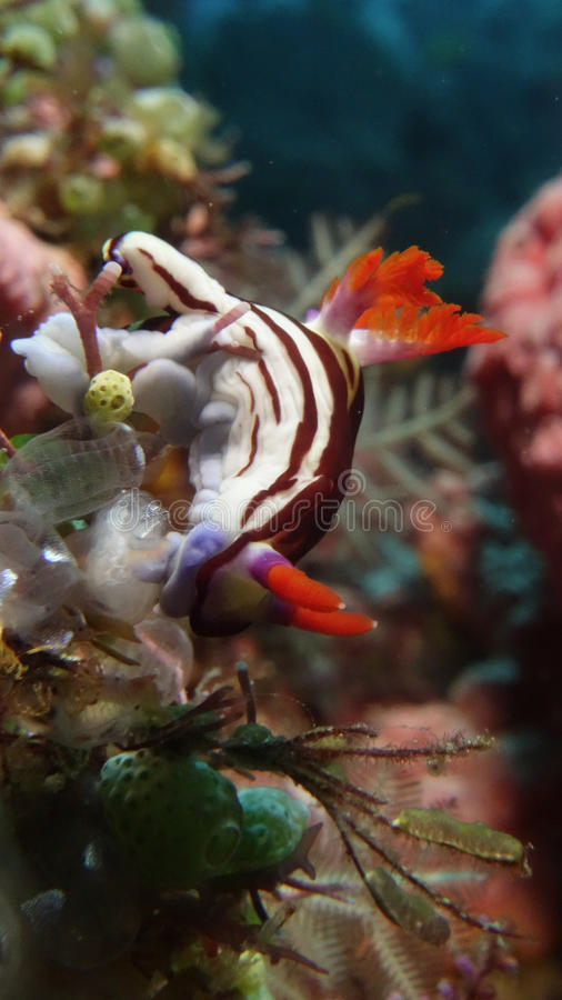 Nudibranch, purpureolineata de Nembrotha images stock