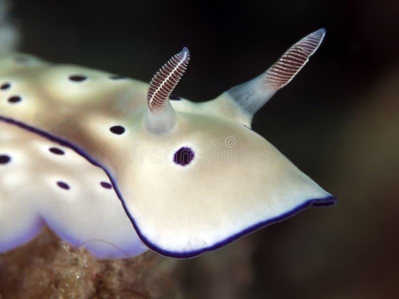 Nudibranch risbecia tryoni lizenzfreie stockbilder