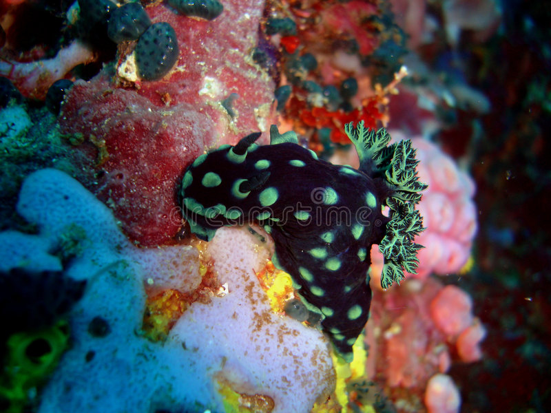Download Nudibranch at verde island stock image. Image of travel - 264641