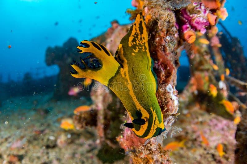 Nudibranch versenden an Wrack im Malediven-Indischen Ozean stockfotografie