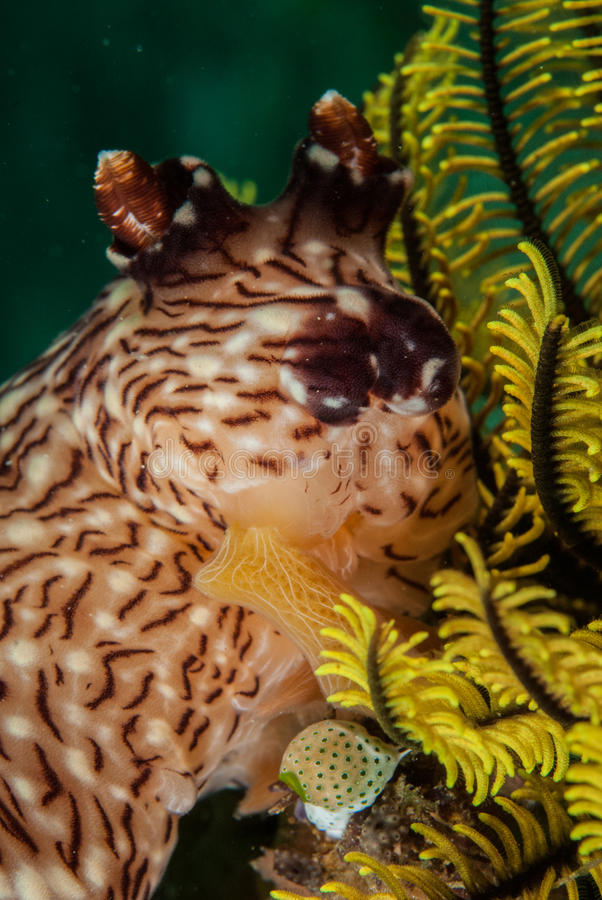 Nudibranch w Ambon, Maluku, Indonezja podwodna fotografia obrazy royalty free