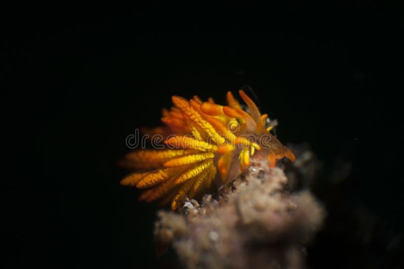 Nudibranches del fuoco fotografia stock libera da diritti