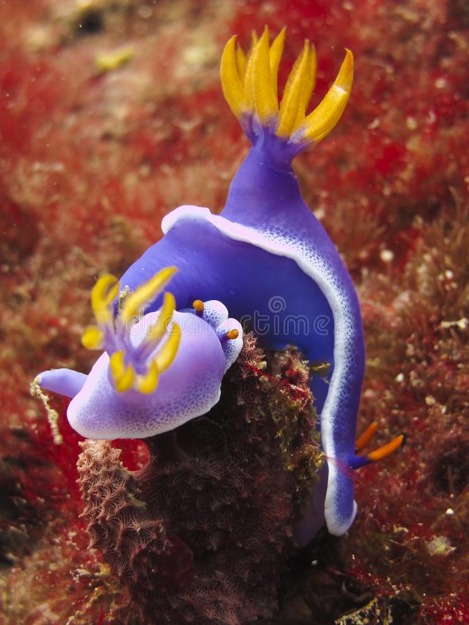 Nudibranches - Hypseldoris Apolegma. Underwater. Two colorful Hypseldoris Apolegma on red corals at Pulau Gaya, Malaysian Borneo stock image