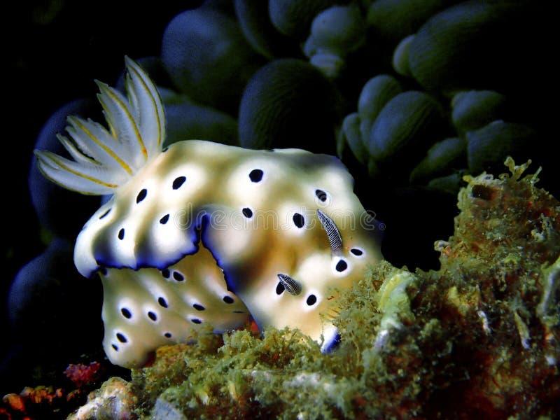 Nudibranchs, ein bisschen wie eine Seeschnecke, kommen in praktisch jede Farbe und in Kombination von Farben und sind extrem schö lizenzfreie stockbilder