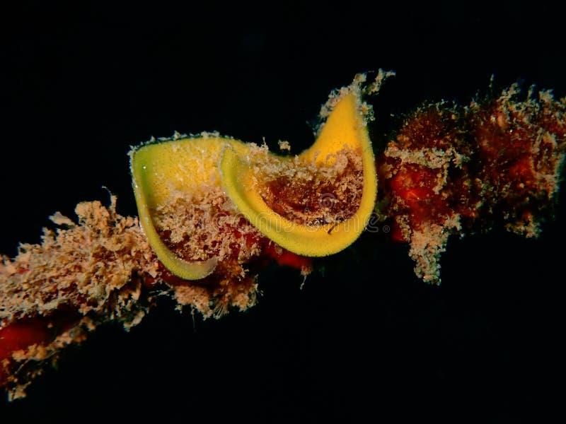 Nudibranchs, ein bisschen wie eine Seeschnecke, kommen in praktisch jede Farbe und in Kombination von Farben und sind extrem schö lizenzfreies stockbild