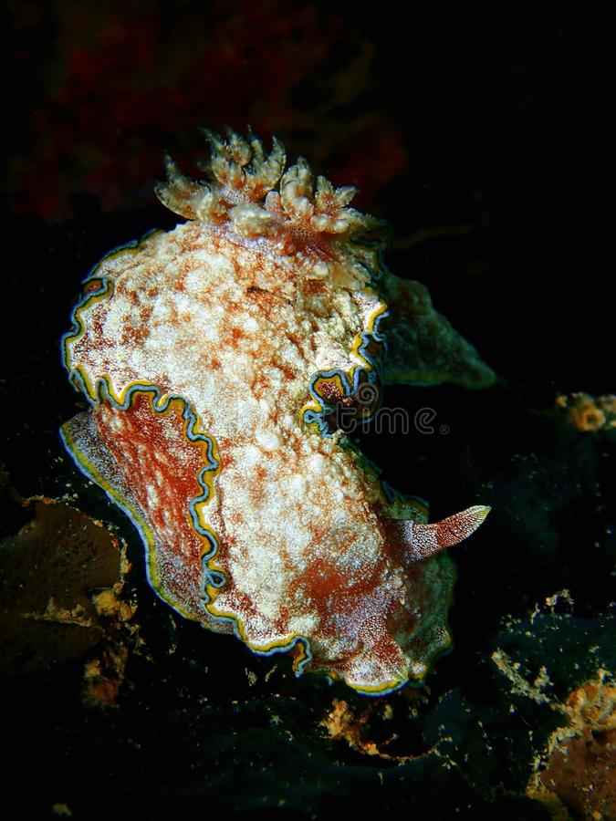 Nudibranchs, genere come di lumaca di mare, viene in virtualmente ogni colore e combinazione di colori ed è estremamente bello fotografia stock libera da diritti