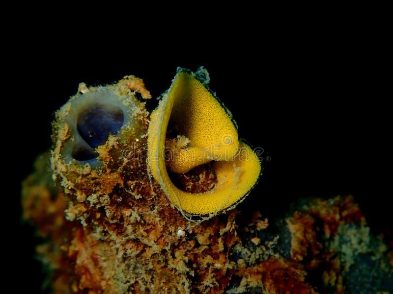 Nudibranchs, genere come di lumaca di mare, viene in virtualmente ogni colore e combinazione di colori ed è estremamente bello immagine stock