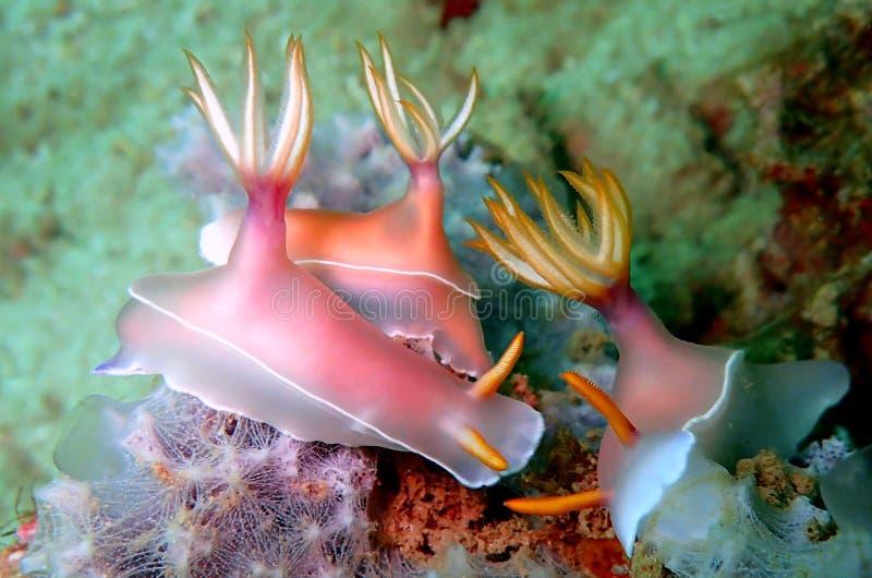 Nudibranchs, tipo como de uma lesma de mar, vem em virtualmente cada cor e combinação de cores e é extremamente bonito imagens de stock royalty free