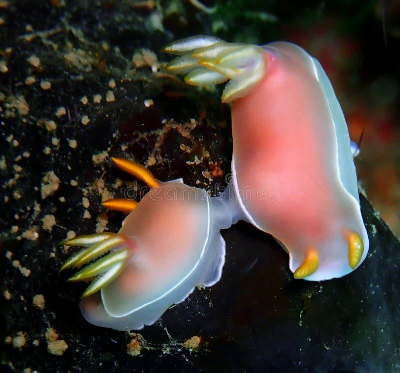 Nudibranchs, tipo como de uma lesma de mar, vem em virtualmente cada cor e combinação de cores e é extremamente bonito fotografia de stock