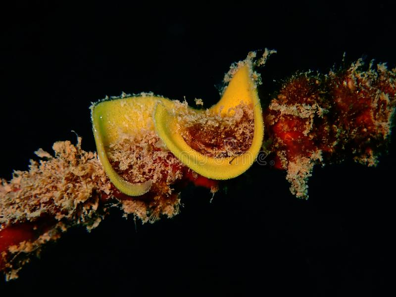 Nudibranchs, un peu comme un lingot de mer, viennent dans pratiquement chaque couleur et combinaison de couleurs et sont extrêmem image libre de droits