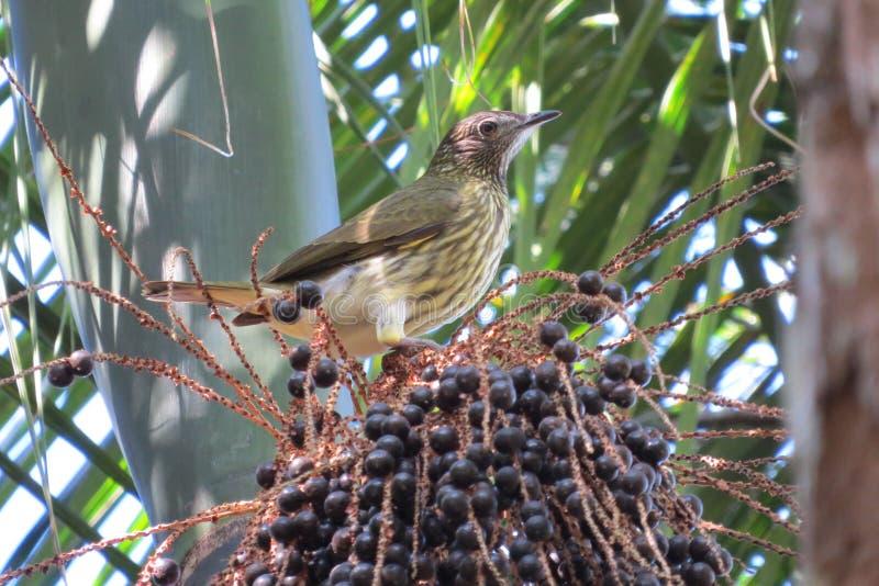 nudicollis Nu-throated de Procnias de Bellbird image stock