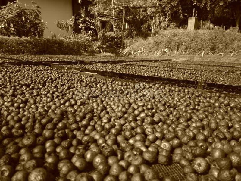 Nueces de areca de las nueces de betel guardadas para secarse fotos de archivo
