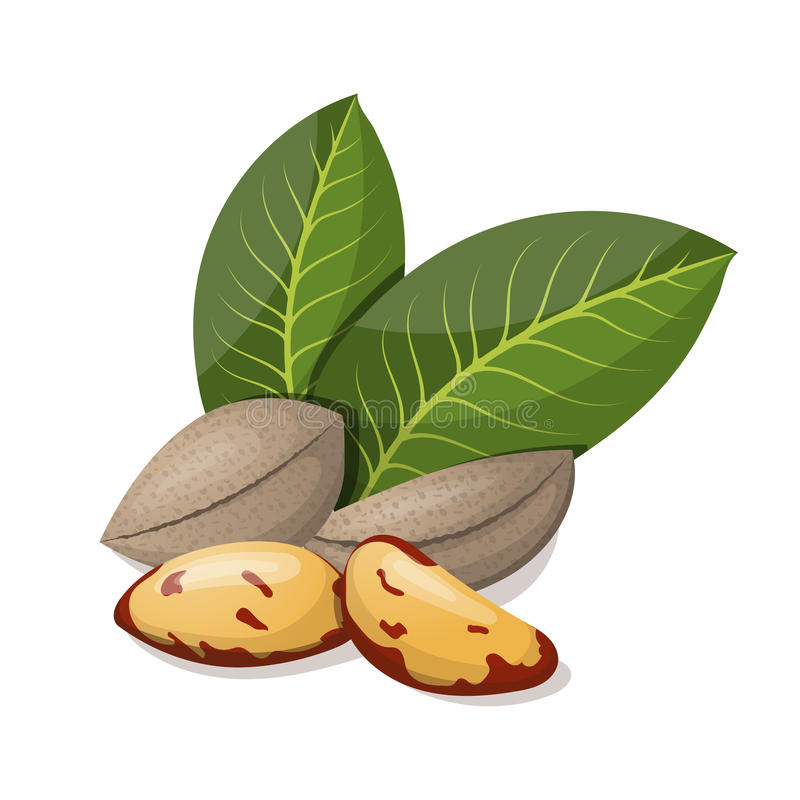 Nueces de Brasil con las hojas en blanco ilustración del vector