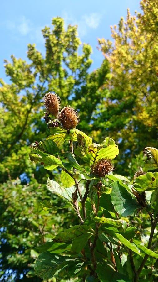Nueces de la haya en otoño foto de archivo