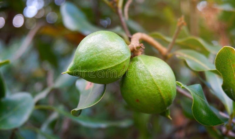 Nueces de macadamia en árbol fotografía de archivo libre de regalías