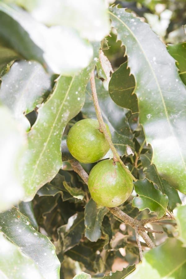 Nueces de macadamia en el árbol fotos de archivo libres de regalías