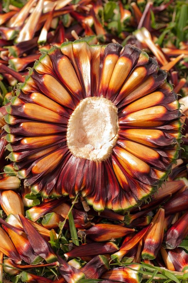 Nueces de pino de la araucaria fotografía de archivo libre de regalías