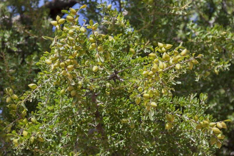 Nueces del Argan en las ramas (argania spinosa). foto de archivo