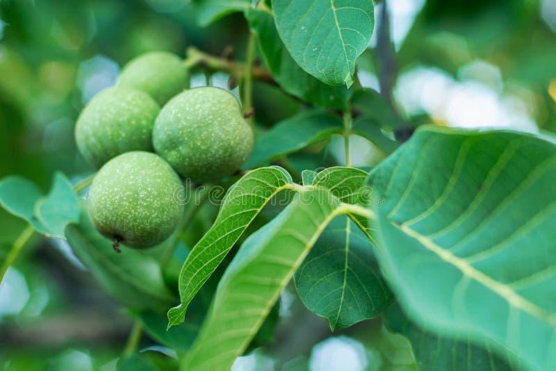 Nueces entre las hojas verdes imagen de archivo