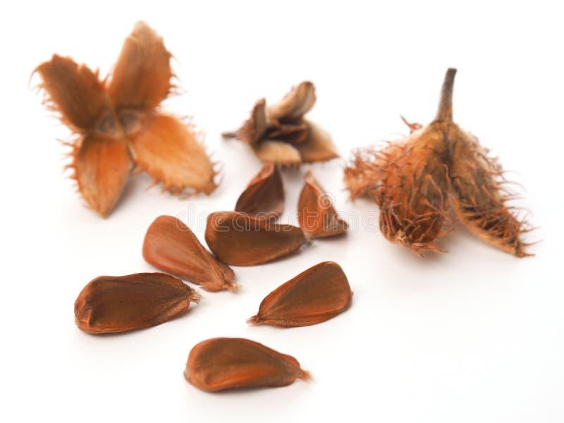 Nueces europeas de la haya en blanco foto de archivo libre de regalías