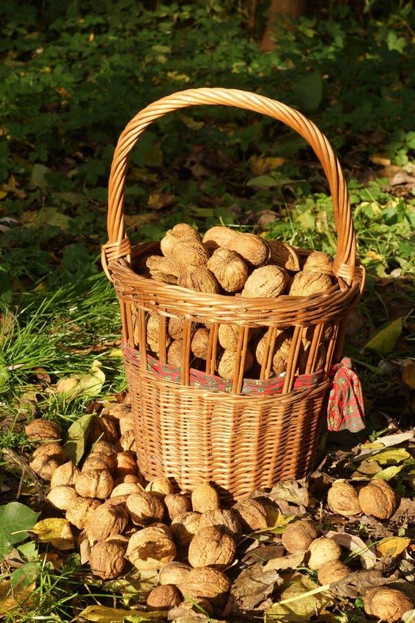 Nueces frescas foto de archivo