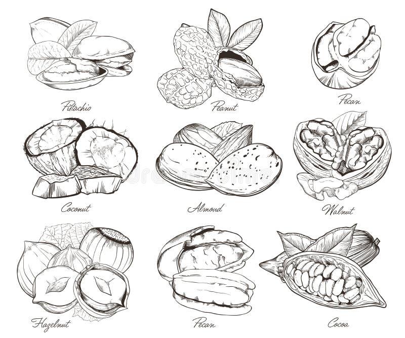 Nueces grabadas aisladas Sistema de nueces mezcladas ilustración del vector