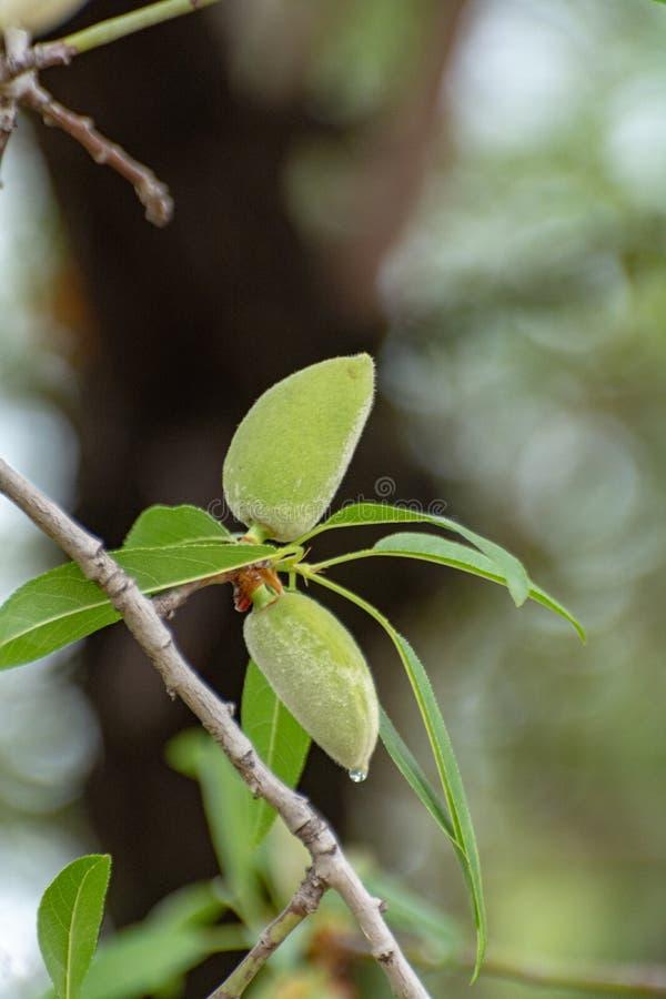 Nueces jovenes de la almendra verde riping en ?rbol de almendra fotos de archivo