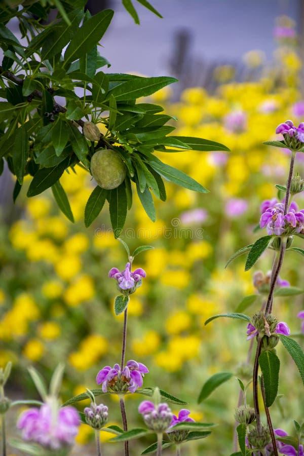 Nueces jovenes de las almendras verdes riping en árbol de almendra y las flores salvajes del verano fotografía de archivo