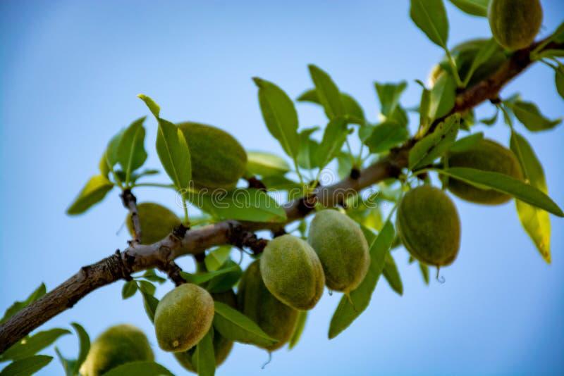 Nueces jovenes de las almendras verdes riping en ?rbol de almendra fotos de archivo